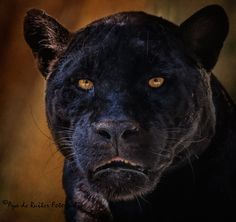 Awesome portrait~~Black beauty ~ Black Jaguar by Aya de Ruiter~~