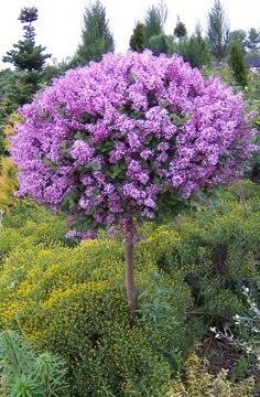 Syringa meyeri Palibin (Dwarf Korean Lilac) Not only is this a dwarf standard lilac, which is pretty unusual, but it is highly regarded for its strong fragrance and it flowers from May to June then again during August and September.