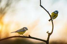 Blue Yellow Tits | by Silviu Bondari