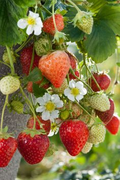 Strawberry Bush, Strawberry Plants, Strawberry Fields, Fruit And Veg, Fruits And Vegetables, Fresh Fruit, Beautiful Fruits, Beautiful Flowers, Fruit Trees