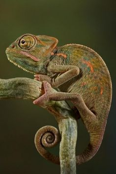 This is a third generation South African captive-bred veiled chameleon. Very cool colors Veiled Chameleon, Chameleon Lizard, Karma Chameleon, Especie Animal, Mundo Animal, Animals And Pets, Cute Animals, Wild Animals, South African Flag