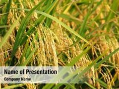 Rice Plant PowerPoint Templates - Rice Plant PowerPoint Backgrounds, Templates for PowerPoint, Presentation Templates, PowerPoint Themes Free Powerpoint Presentations, Powerpoint Themes, Powerpoint Presentation Templates, Rice Plant, Ppt Themes, Presentation Backgrounds, Social Icons, Planting Seeds, Bike