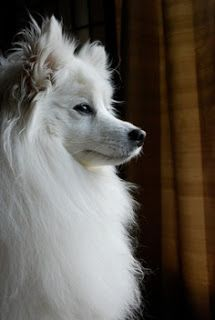 American Eskimo: American Eskimo Spitz-looking snow white and has a dog similar to the Samoyed breed. Miniature, small and divided into three groups according to size standards. This length can be selected depending on the size of the house or through the garden.