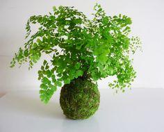 kokedama succulents suculentas pachyphytum compactum kokedama pinterest succulents. Black Bedroom Furniture Sets. Home Design Ideas