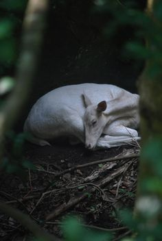 Sweet deer sleeping in the woods. Beautiful Creatures, Animals Beautiful, Cute Animals, Solas Dragon Age, Deer Family, All Gods Creatures, Woodland Creatures, Fauna, Nature Animals
