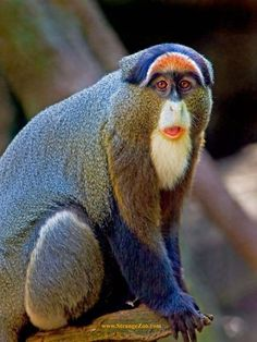 "This species of ""Blue Monkeys, are in the evergreen and bamboo canopy forests of Angola, Tanzania and the areas of the Congo, in Africa. They are a female-philopatric society with one dominant male, who stays a distance away from the harem. They birth one baby at a time.They feed on fruits and leaves, and an occasional slow invertabrate."