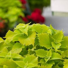 'Wasabi' Coleus. This showstopping, hot lime-green coleus is appropriately named 'Wasabi'.  bhg.com