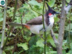https://www.facebook.com/WonderBirdSpecies/ Red-whiskered bulbul (Pycnonotus jocosus); Asia; IUCN Red List of Threatened Species 3.1 : Least Concern (LC)(Loài ít quan tâm) || Chim Chào mào châu Á; Họ Chào mào-Pycnonotidae (Bulbul).