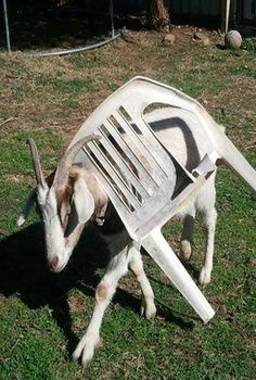 Goat Stuck In Chair