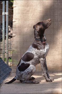 German Shorthaired Pointer Before Treat