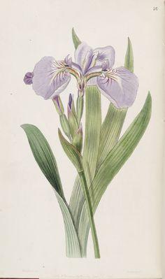 Iris setosa. Edwards's Botanical Register v.33- t.10 (1847) [S.A. Drake]