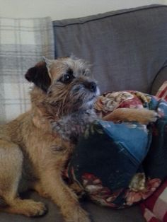 Betsy the Border Terrier