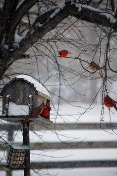 Cardinals roosting.