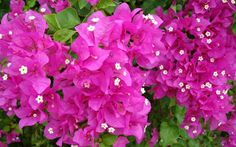 This very moment is a seed. Tropical Flowers, Exotic Flowers, Spring Flowers, Beautiful Flowers Pictures, Flower Pictures, Amazing Flowers, Bougainvillea Care, Orchid Tree, Flower Meanings