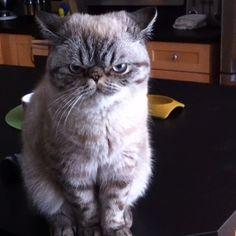 I'z unimpressed #Padgram Cats Of Instagram, Animals, Animais, Animales, Animaux, Animal