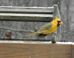 The yellow cardinal lives on - Ohio Birds and Biodiversity