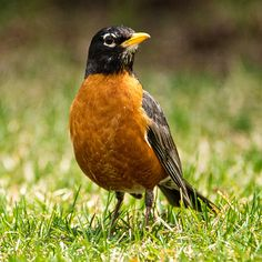 Photograph Robin by Daniel Ivorra on 500px