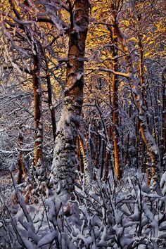 Golden Birch, Anchorage, Alaska