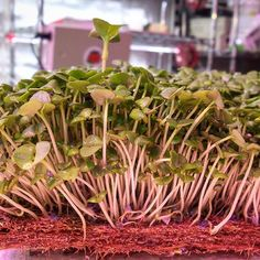 City-Hydro Growers To The Masses #onebaltimore #GROWPURE #growyourown #buylocal #MICROGREENS #FARMTOFORK #CHEF #chefsofinstagram #acf #purefood #pure #eatpure #fellspoint #baltimore #Maryland #urbanfarming by cityhydro