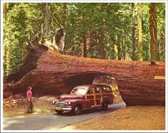 Redwoods with a classic woodie station wagon passing through