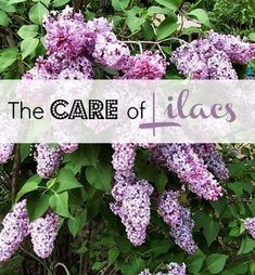 lilac pruning & care