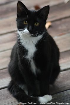 Tuxedo cat Putting On The Ritz, Black And White Tuxedo, Tuxedo Cats, All About Cats, Tuxedos, White Cats, Cat Love, Oreo, Cookie