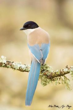 The azure-winged magpie is a bird in the crow family. It is 31–35 cm long and similar in overall shape to the Eurasian magpie but is more slender with proportionately smaller legs and bill. It belongs to the genus Cyanopica. It has a glossy black top to the head and a white throat. The underparts and the back are a light grey-fawn in colour with the wings and the feathers of the long (16–20 cm) tail are an azure blue. It inhabits various types of coniferous (mainly pine) and broadleaf…