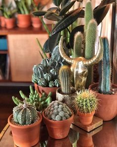 tropical pot plants male or female, yellow rose plants, ground cover… – House Plants Succulents In Containers, Cacti And Succulents, Planting Succulents, Cactus Plants, Pot Plants, Tropical Plants, Herbaceous Perennials, Flowers Perennials, Room With Plants