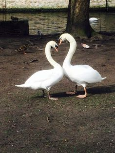 swan#couple#love#heart