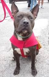 Jake is an adoptable Pit Bull Terrier Dog in Chicago, IL. Jake is PERFECT!� In January of this year, the sanctuary we rescued Jake from received a call about a dog abandoned in the middle of the road ...