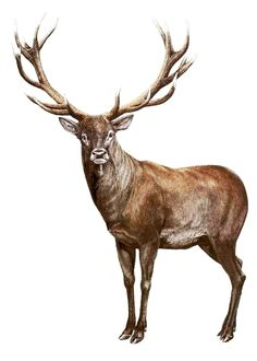 jeleň lesný (Cervus elaphus) Deer Jumping, Deer Drawing, Pencil Drawings Of Animals, Stag Deer, Animals Images, Reno, Animal Sculptures, Beautiful Paintings, Painting Inspiration