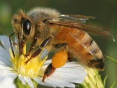 An upclose picture of a honey bee on a yellow & white flower.