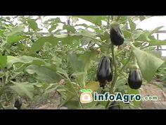 El cultivo del Pepinillo, Gherkin cultivation, La culture du pétit cornichon - YouTube