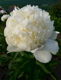 The Bridal Shower is an ivory white double bomb Peony with white guard petals; graceful and elegant form. Flowers are niceley fragrant. Top variety for cutflower production. Good substance, reliable, excellent stem strength and foliage. #peony #peonies #pioen #paeonia #greenworks #garden #flower
