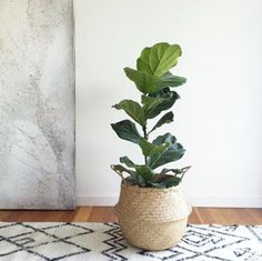 Fiddle leaf fig tree teamed with Seagrass belly basket. The perfect indoor plant!