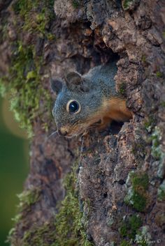 Douglas Tree Squirrel from the front yard yesterday.