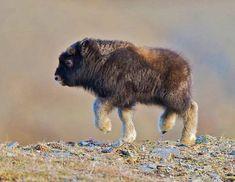 A Baby Bison!! So Precious!! ♥♥♥