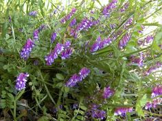 What Is Hairy Vetch – Tips For Growing Hairy Vetch In Gardens