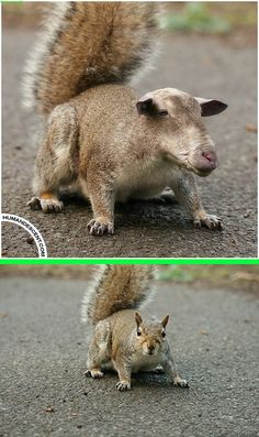 Fake - Squirrel Sheep Hybrid - The original image of a Squirrel is on the bottom.