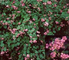 Marleen Pink Snowberry :: shade :: GOOD 4x4, purple berries in winter, dense, any soil