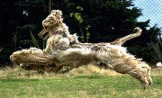 Afghan Hound - beautiful