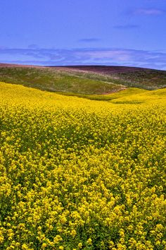 ✮ Canola fields in the Palouse