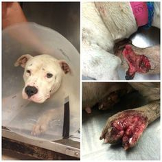 MAY 7 - STILL LISTED - Wounded and ill from severe heartworm, sweet dog urgently needs rescue