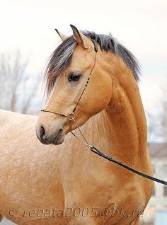 Welsh pony - photos - equestrian.ru