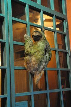 Sloth on my door ( Costa Rica ) Baby Sloth, Cute Sloth, Central America, South America, Costa Rica Sloth, Three Toed Sloth, Costa Rica Travel, Mundo Animal, My Spirit Animal