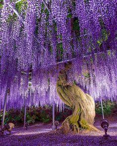 Ashikaga Flower Park, Ashikaga, Tochigi, Japan, あしかがフラワーパーク, 足利, 栃木, 日本