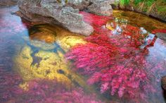 The Caño Cristales river in Colombia also known as the 'liquid rainbow,' the spectacular waters are turned into a kaleidoscope of colour thanks to freshwater plants known as macarenia clavigera and. Rainbow River, Liquid Rainbow, Freshwater Plants, Picture Watch, Red Plants, Aquatic Plants, Beautiful Places To Travel, Travel And Leisure, Fresh Water