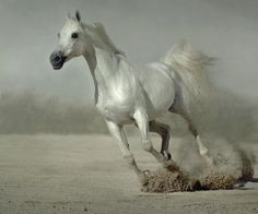GORGEOUS!    The Arabian horse is showy without being in a show.   Look at the tail held high.   Beautiful.