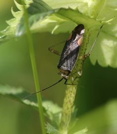 Closterotomus