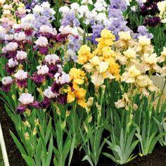 Iris - Schwertlilie Iris germanica